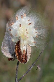 Milkweed-in-seed2